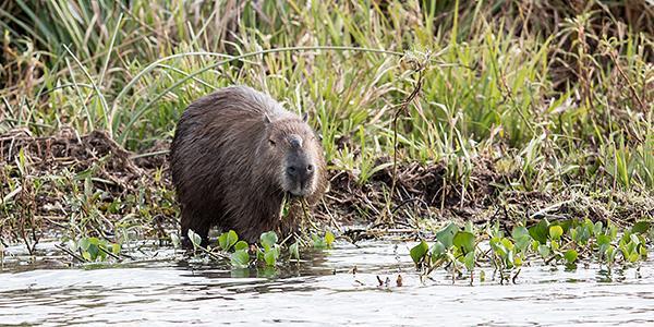 esteros del ibera capibara argentinie