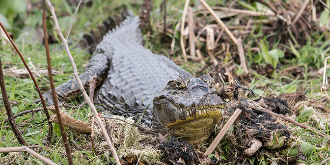 krokodil argentinie