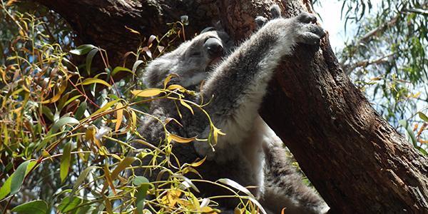 typisch australisch: een koala