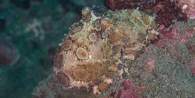 octopus padangbai