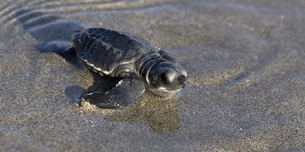 schildpadden conservatie kuta