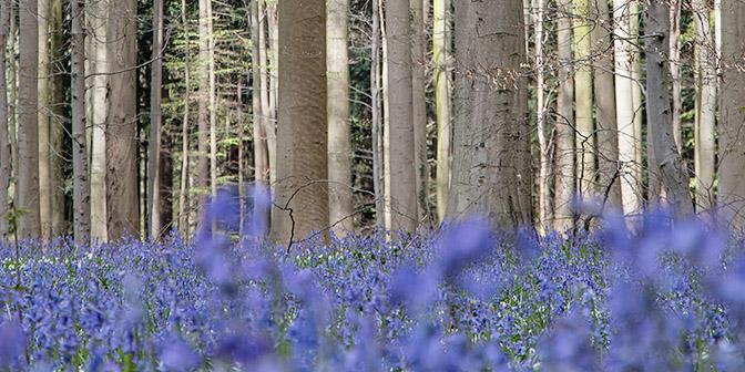hyacinten fotografie hallerbos