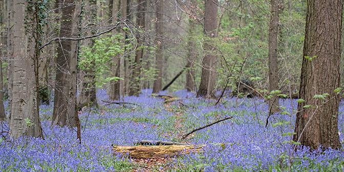 wandelen hallerbos hyacinten