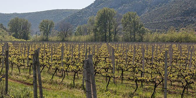 wijnranken bosnie