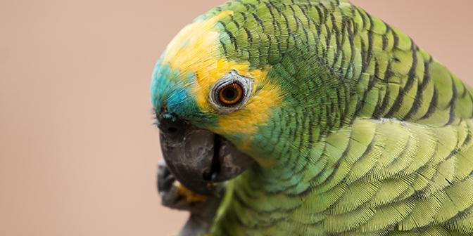 papegaai iguazu brazilie