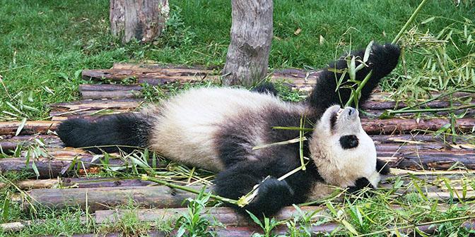 panda breeding centre