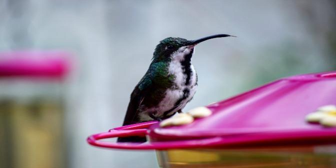 kolibrie colombia
