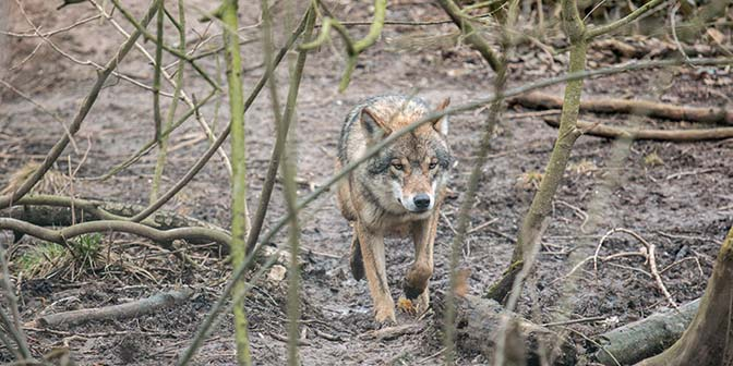 wolf duitsland