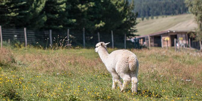 wandelen alpaca ertsgebergte