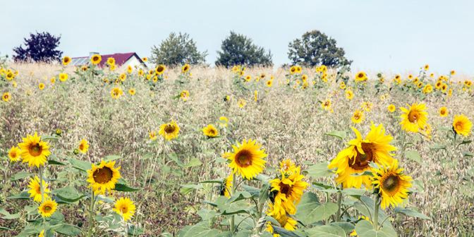zonnebloemen duitsland