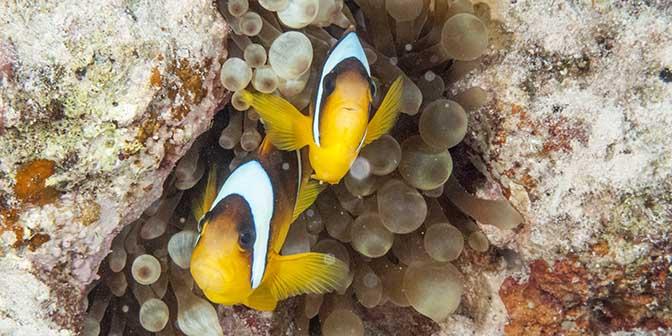 clow fish duiken