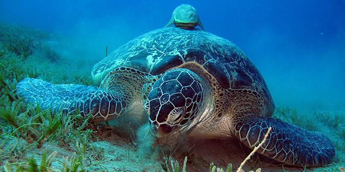 schildpad rode zee