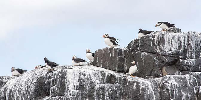 papegaaiduiker puffin farne islands