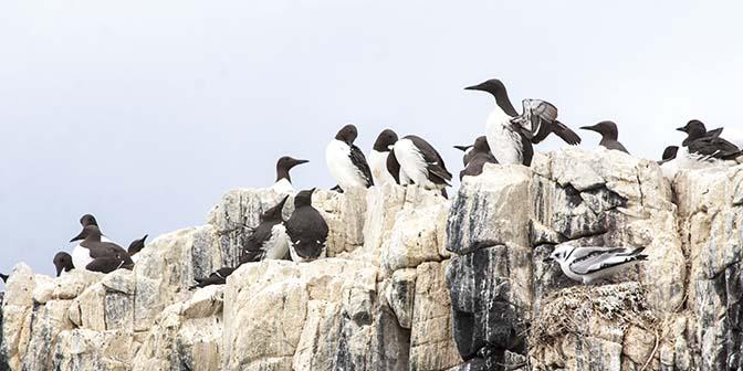 farne island vogels