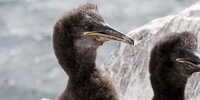 vogels farne islands