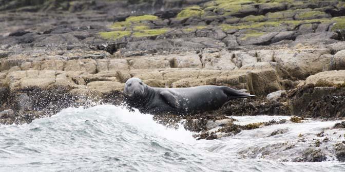 zeehonden farne islands