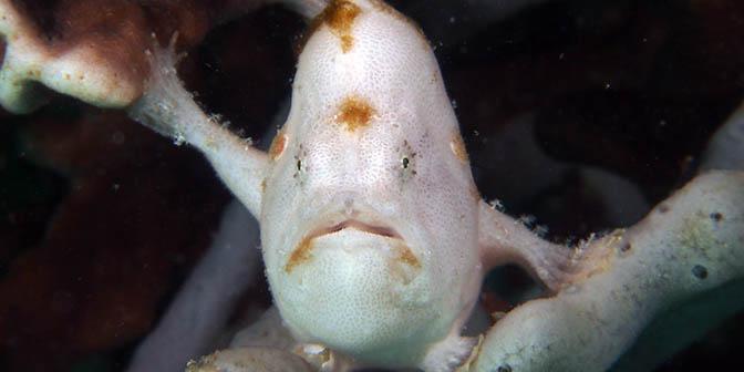 frogfish filipijnen