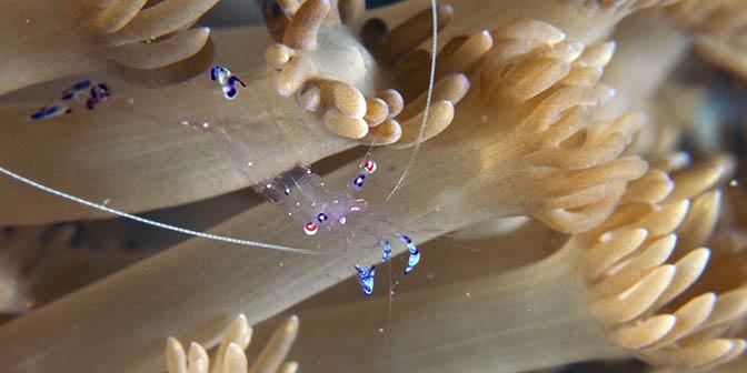 garnaal duiken filipijnen