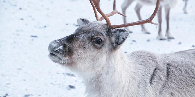 reindeer farm pyha finalnd