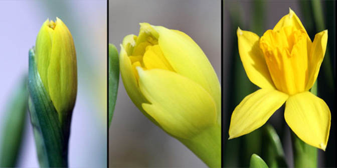 narcis voorjaar