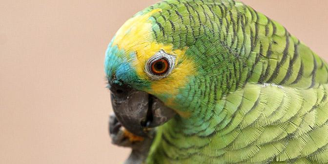 fotografie vogels papegaai