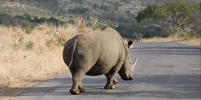 wildlifefotografie safari neushoorn