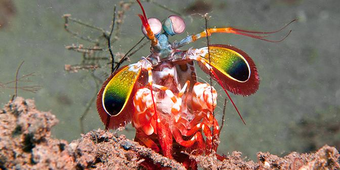 onderwaterfotografie mantis garnaal