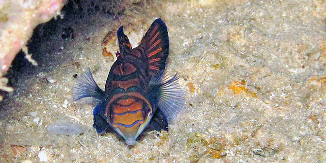 madarijnvis indonesie