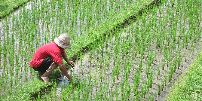 indonesie bali rijstvelden