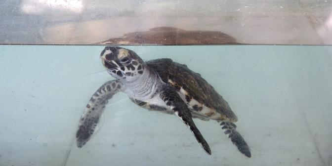 schildpad gili trawangan