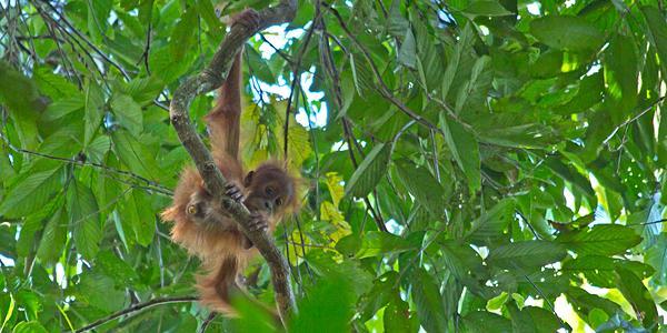 wilde orang-oetan ketambe sumatra