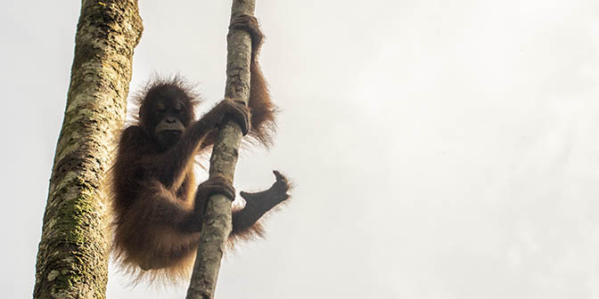 orang-oetan spotten sumatra