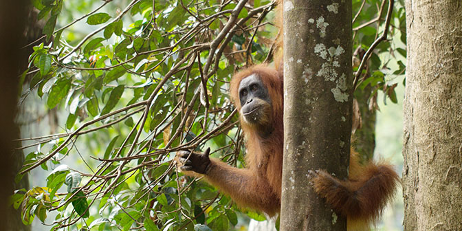 sumatra orang-oetan