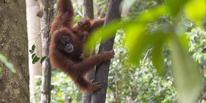 orang-oetan leuser sumatra