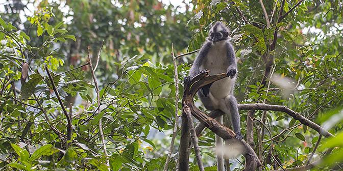 apen sumatra