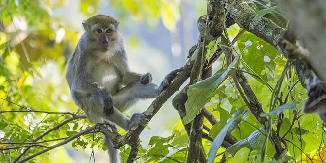 makaak sumatra