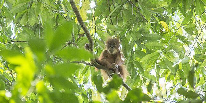 baby orang-oetan sumatra