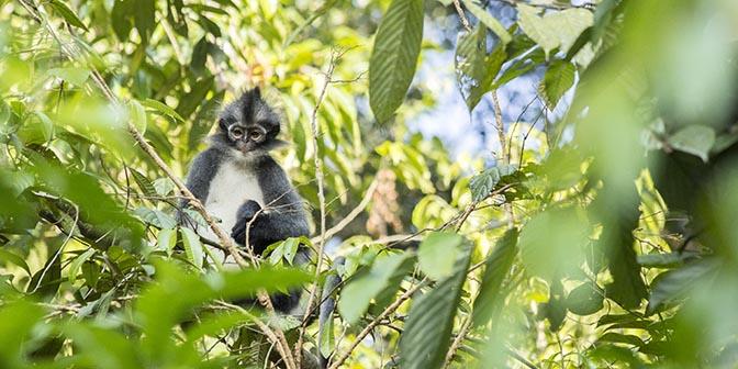 thomas leaf moneky sumatra