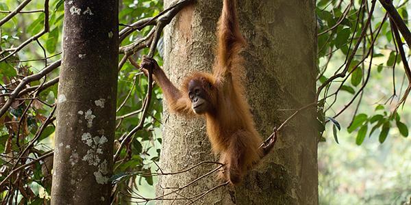 orang-oetans op sumatra