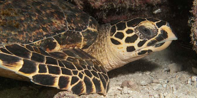 schildpad pulau weh