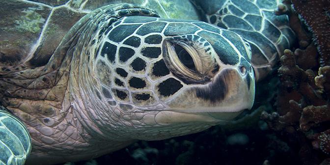 schildpad duiken gili trawangan