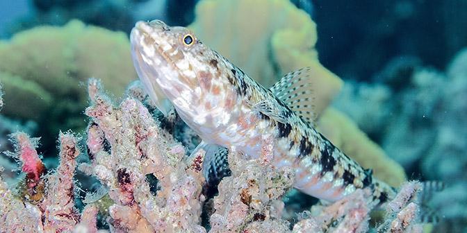 lizard fish aqaba