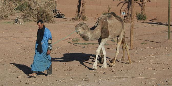 kameel marokko