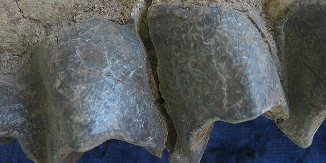 tanden dinosauris ulan baatar