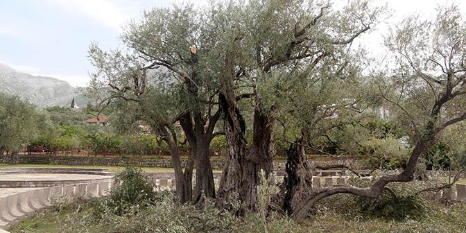 oudste olijfboom
