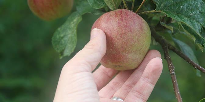 appel betuwe plukken