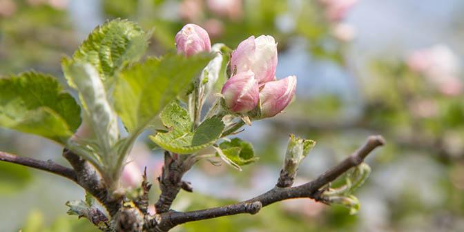 roze bloesem nederland
