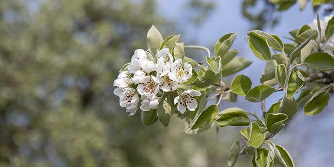 witte bloesem lente