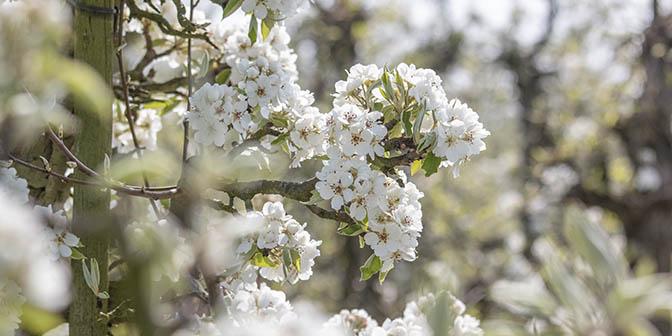 witte bomen bewute