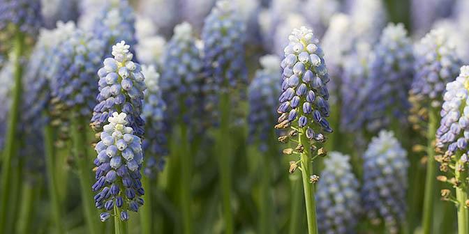 lente blauwe druifjes